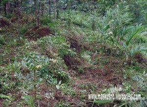 Kapulaga PLDT di LMDH Madyo Laras Desa Kalisalak Kedungbanteng (18)